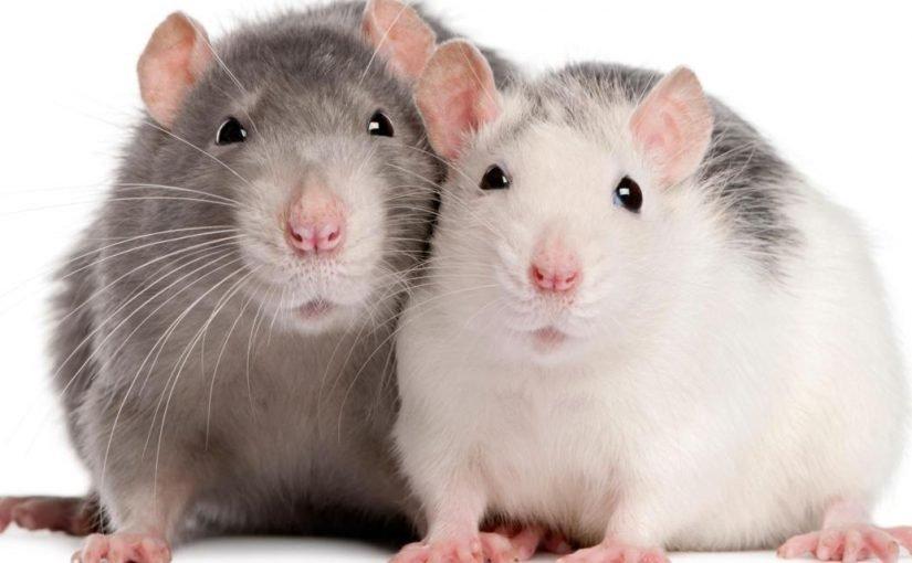 تفسير رؤية الفأر الأبيض أو الرمادي في المنام للمرأة المتزوجة والحامل والفتاة العزباء زيادة
