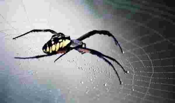 رؤية العنكبوت في المنام من حيث الأسود والبني ورؤية خيوطه أو الهروب منهم زيادة