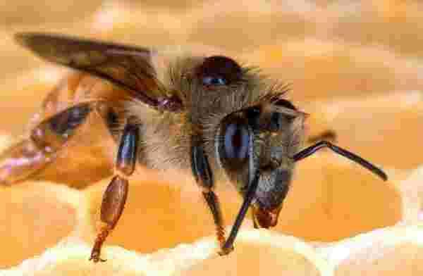 رؤية النحل في المنام والهروب منه والخوف منه للمرأة والرجل زيادة