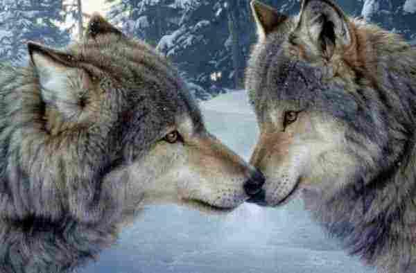 تفسير رؤية الذئب يهاجم في المنام لأبن سيرين زيادة