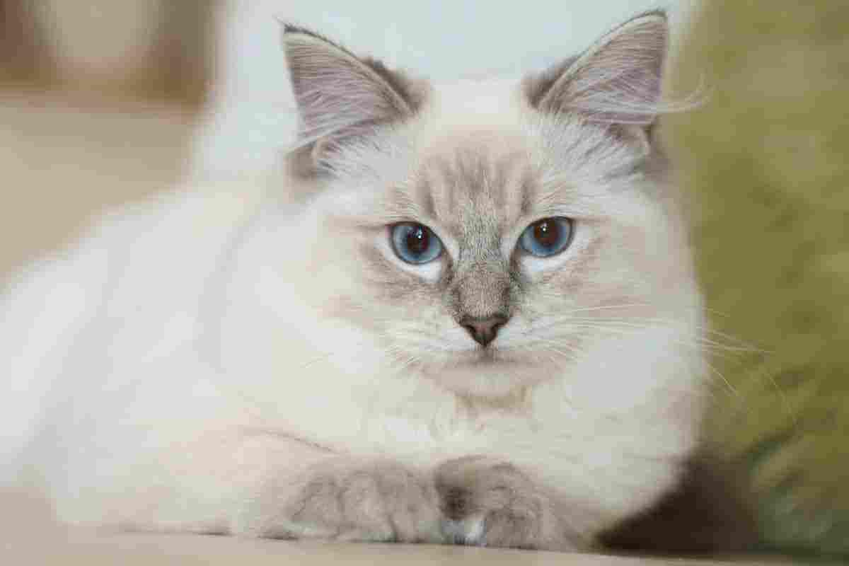 كم مدة حمل القطط وفترة التزاوج عند القطط وما هي أعراض الولادة زيادة