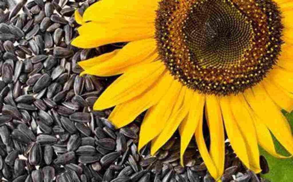 هل البزر يزيد الوزن وفوائد بذور دوار الشمس زيادة