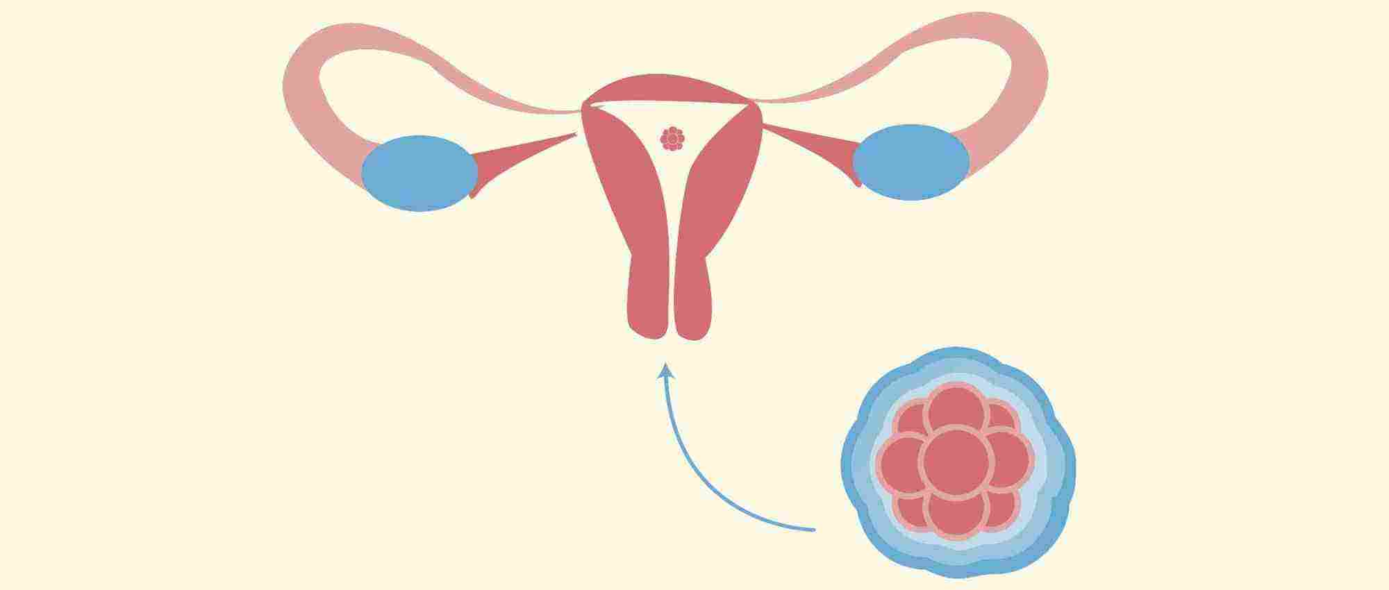 كم حجم البويضه للحمل بولد وما هو حجم البويضه الطبيعي لحدوث حمل زيادة