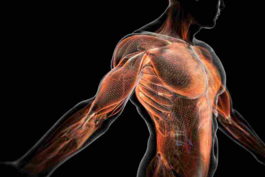 كم عدد عضلات جسم الانسان وأنواع العضلات ووظيفة العضلات زيادة