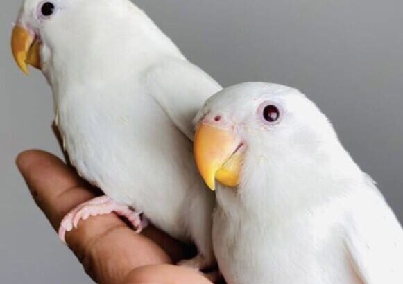 أنواع طيور الحب وموطنها الأصلي والمواصفات القياسية لكل نوع والطفرات اللونية زيادة
