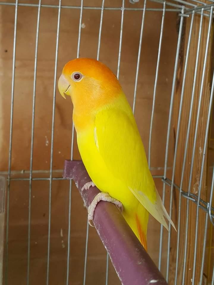 طيور الحب تعرف على أسماء طيور الحب او طيور الفيشر Youtube
