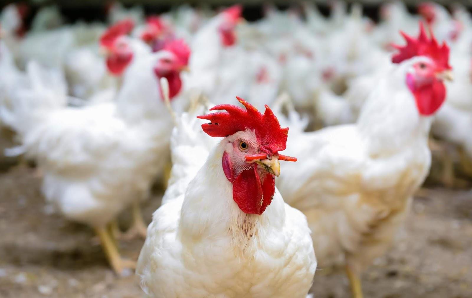 تفسير رؤية الدجاج الحي في المنام للعزباء والمتزوجة والحامل زيادة