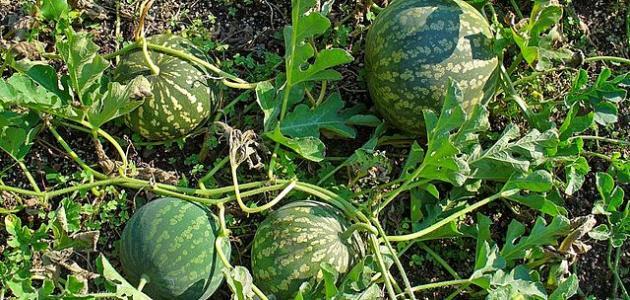 علاج الشوكة العظمية بالحنظل والأعشاب