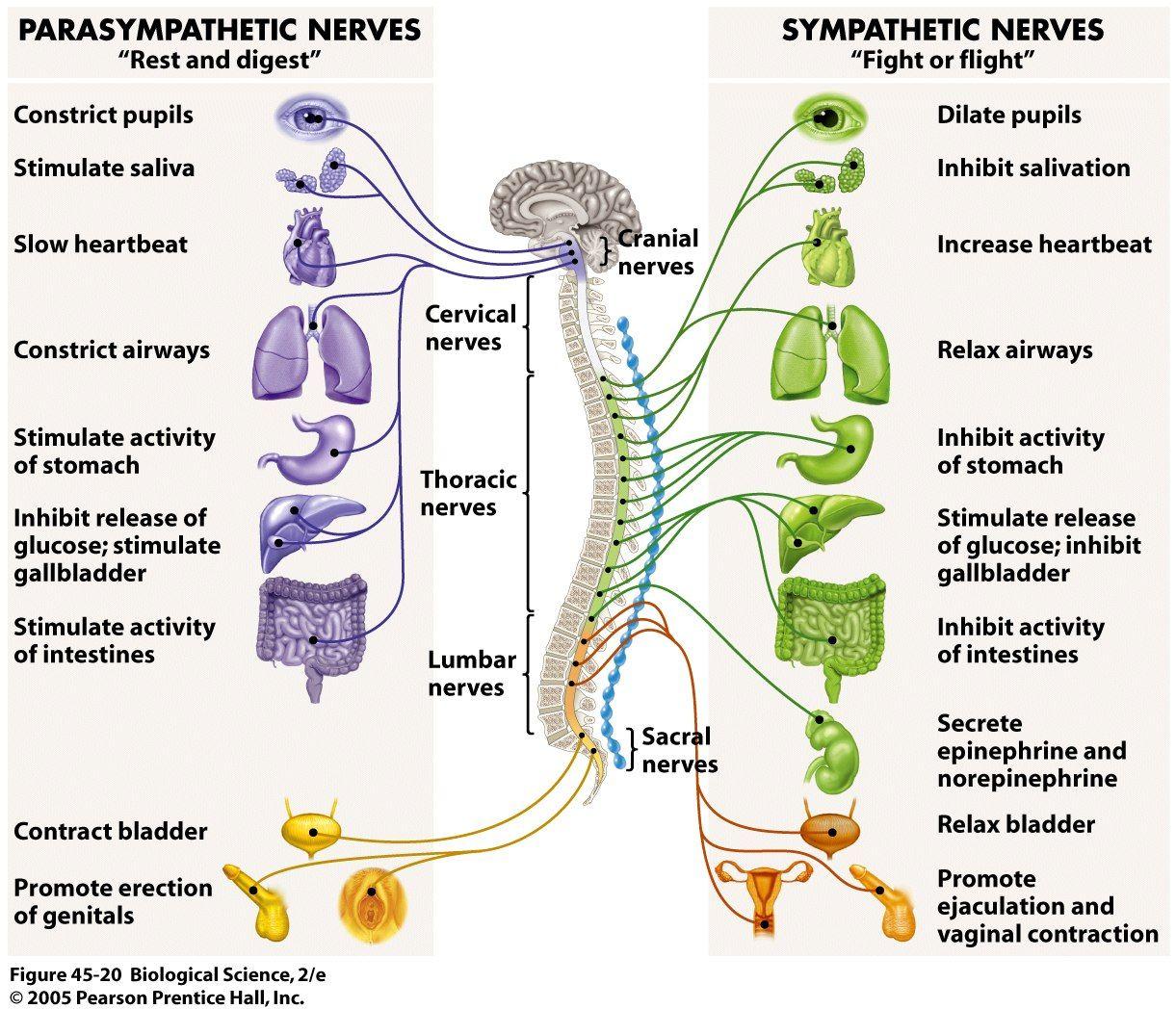 مكونات الجهاز العصبي السمبثاوي