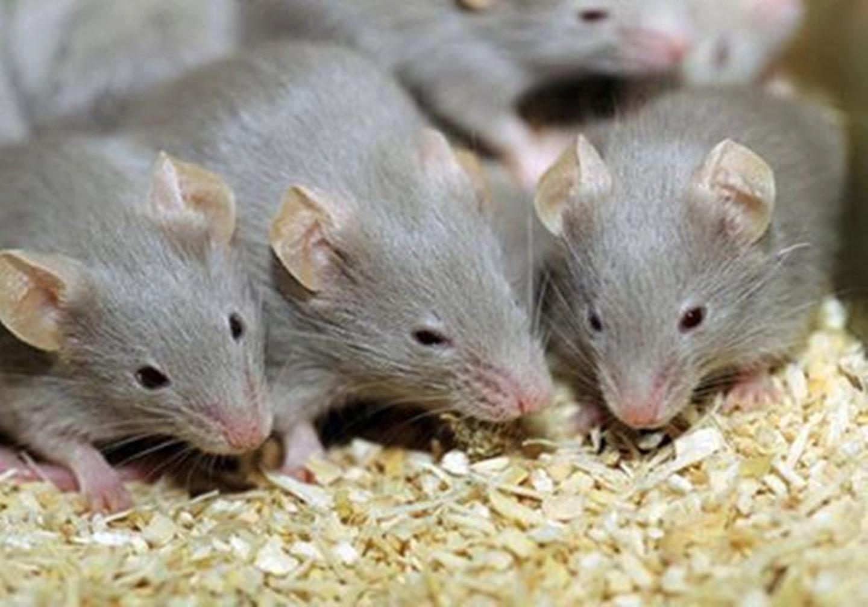 تفسير رؤية الفئران الصغيرة في المنام للعزباء والمتزوجة والحامل زيادة